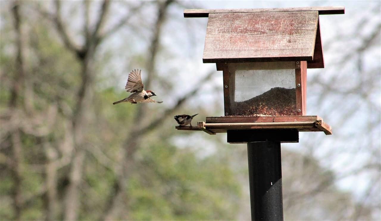 backyard bird feeder sparrow