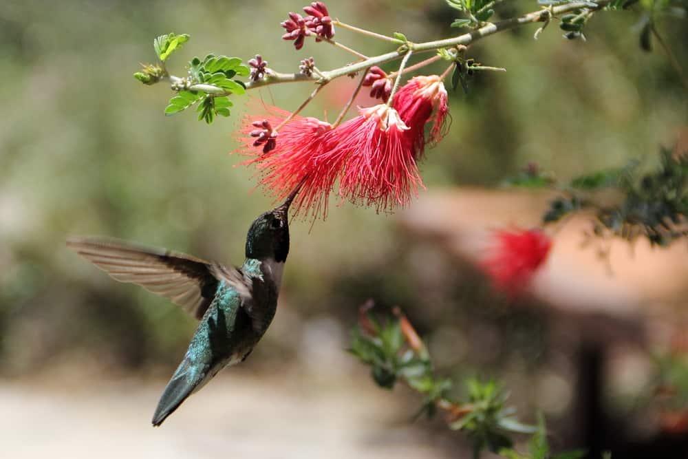hummingbird arizona desert