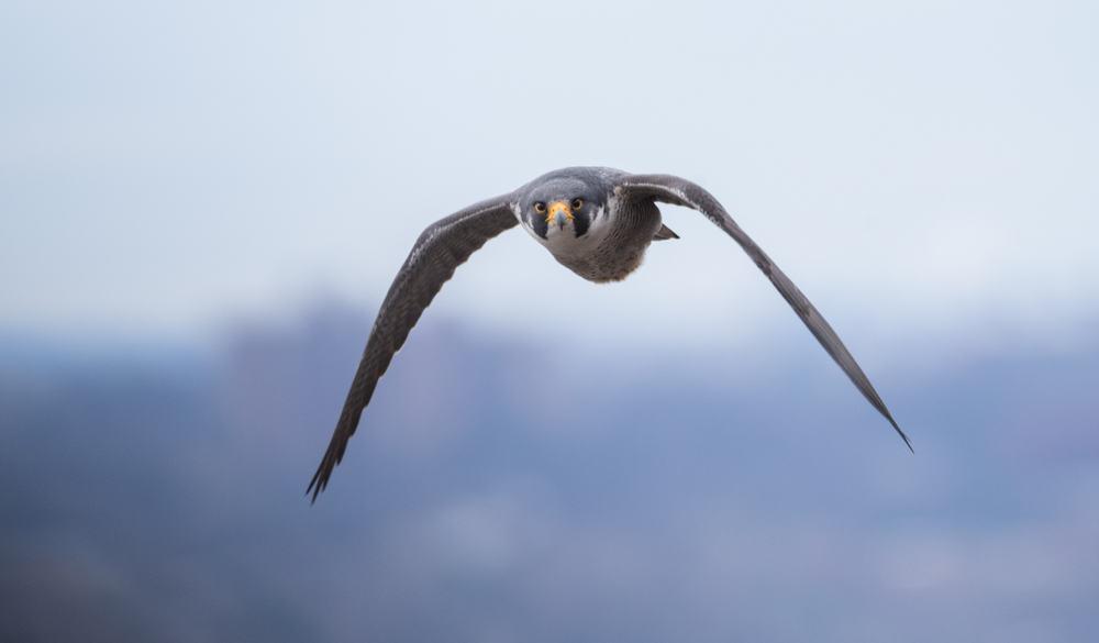 peregrine falcon new jersey