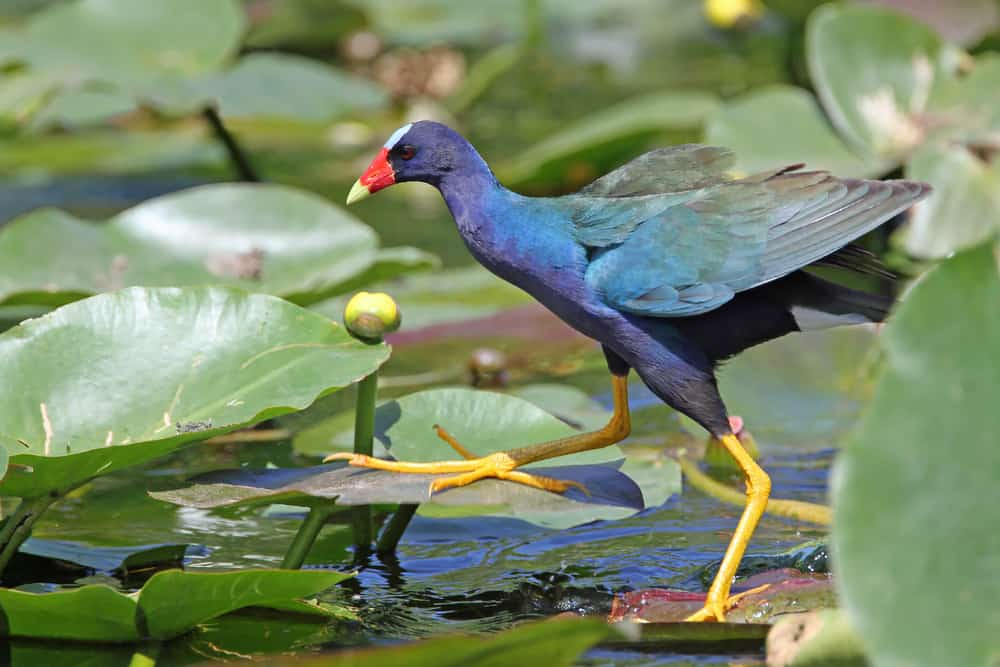 purple gallinule everglades