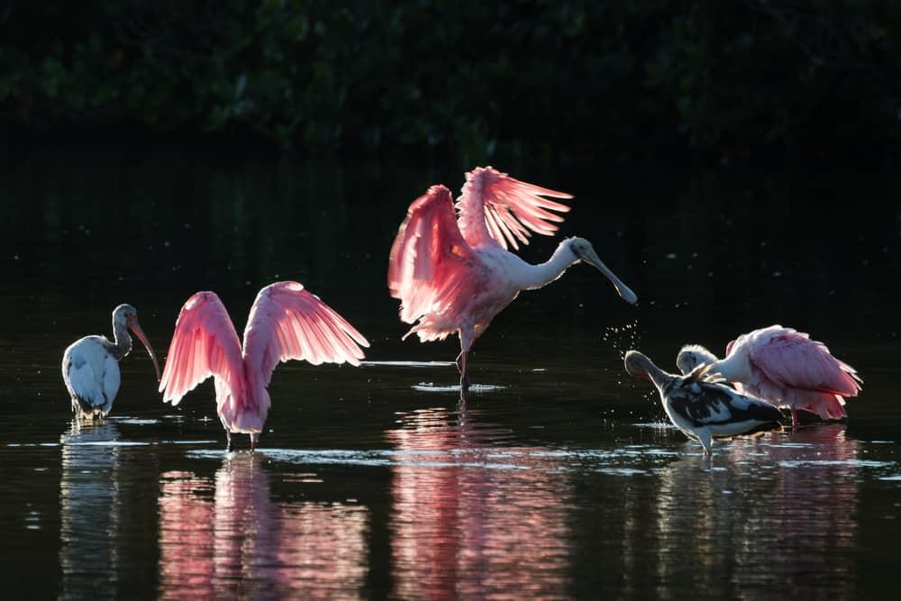 roseate spoonbills darling national wildlife refuge