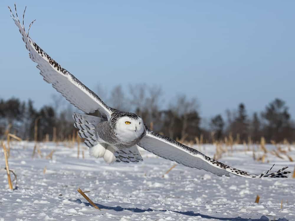 churchill canada snowy owl